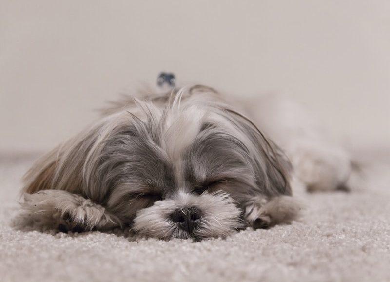 生後6ヵ月の愛犬の『涙やけ』の原因が判明!飼い主ができるケア対策