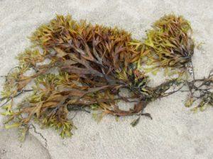 食物繊維の種類⑨海藻多糖類