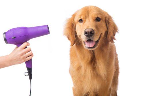短毛犬のシャンプーの体を乾かす